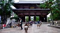 日本奈良公园的小鹿跟游客热情互动,并索要食物。