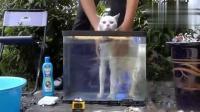 奇葩主人用鱼缸给猫咪洗澡,猫下水那一刻感觉有点慌了