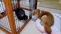 猫咪和狗狗隔着笼子相望,猫咪还手贱打狗狗,主人看蒙了!