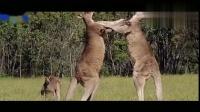 外国2只袋鼠为了争夺地位不惜大打出手,动作真是太搞笑了!搞笑视频