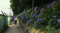 东京飞鸟山公园紫阳花