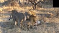 从未见过如此残暴的一幕狮子吃狮子!