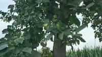 大风把果树挂断了
