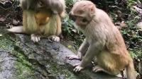 小猴互相抢东西吃。