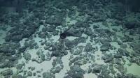 探秘:深海巨嘴怪大如口袋,身如鳗鱼!