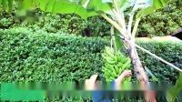 三亚半岭温泉海韵别墅度假酒店有机香蕉成熟过程