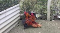 斗鸡:【神鞭腿】PK【小铁红】拳怕少壮!