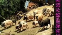 参观莆田仙游泉州永春香猪野猪
