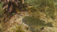 【水中映像】石鯛(クチグロ、三番叟、縞鯛)黒鯛(年無し、チヌ)真鯛・メジナ