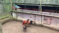 斗鸡:小黑儿PK三石(激烈对攻)