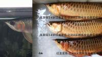 周鱼说鱼 第七期 龙鱼的血统与养法1节选 过度逼迫养法的案例与鉴别