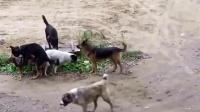 流浪狗打架争夺领地,带着一群狗狗打架,霸气