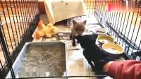 男子捡到一只快饿死的小狐狸,喂养了一段时间后放生,很暖心