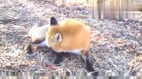 小狐狸想让主人摸摸它,这卖萌的姿势太可爱了!