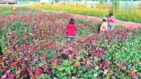 心雨娱乐会:广州黄埔花海,冬过春暖百花盛开,谢友友观赏。