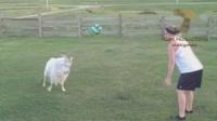宠物大作战!山羊也这么调皮