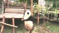 国宝大熊猫:科小冲着萌兰大吼一声,萌兰抖了抖赶紧溜了!