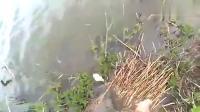 国外钓鱼人都喜欢用,土加麦子揉成团打窝,这样容易钓上大鲫鱼!