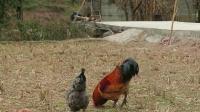斗鸡:红搏带领着鸡群(幸福的用餐)