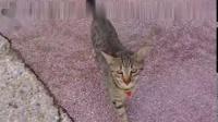 猫咪遇见一只章鱼,咬了一口后,让人意想不到的画面出现了