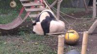 VID_20181112_112848喜戏的熊猫03