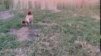 鸡和狗打架,群鸡轮番攻击,狗狗的动作和配音让你笑翻天!