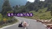 爆笑四川话:动物成精了,这只山羊想被弄成烤全羊了,爆笑工厂 继续盗我视频吸粉