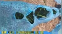 生物菌肥-河北省抚宁盛铁营村,回访李大哥小拱姜用沃叶套餐10天,苗整齐、又黑又壮,每个拱棚随便搂开看,大哥说;光说好不行,你看到才行,沃叶用效果说话,随便看。
