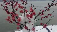 2019正月初五南京玄武湖 红梅白雪