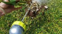 给灯笼石斛换盆, 剥除旧水苔的方法 Dendrobium Griffithianum