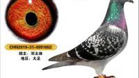 渝西联翔2019红五月获奖鸽图片欣赏