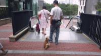 柴犬阿宝的日常训练