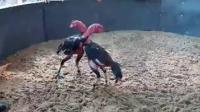质量重腿母鸡毛黑鸡6.4斤,功夫高头两边管鸡,重腿打肩甲打脖子打头打后脑,点位杀伤一流,喜欢联系