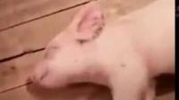我妈总是说睡的跟猪一样,直到我给我妈看了这个视频...