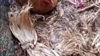 一位养鸡小哥,每天都跟自己养的鸡斗智斗勇