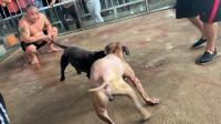 爱犬王英,跑岀去三千里,水土不服拉肚子状态不好。而且还超重。跳了十几分钟?降下来9两.练功不行。