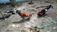 斗鸡:灰尾红PK杂货