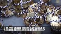 比利时大闸蟹泛滥:考虑将其送回中国餐桌