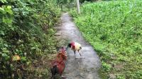 斗鸡:花缅斗下乡选土鸡