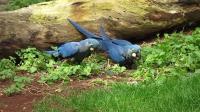 Blue Macaw in Loro Parque Tenerife Синие Ара, попугаи Лоро парк