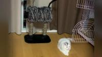 阿拉胖胖的金手套之路搞笑猫咪原创视频
