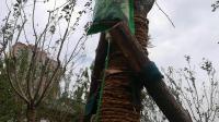 新时代大树也要输液哩