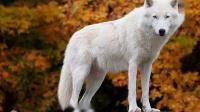 离奇故事《白狼宝藏》02