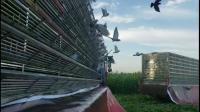 天津天立公棚(小棚)8月23日第一次7公里训放开笼、归巢视频