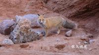 峡谷中的狐狸