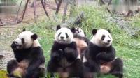 """全球唯一一只圈养棕色大熊猫""""七仔""""被认养"""