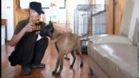 光头哥的江城达运犬舍训练马犬、卡斯罗、加纳