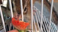 小松鼠之松松的快乐时光:阳光明媚,草莓真好吃 A