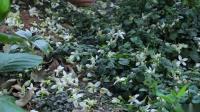 【李子柒】摘下一朵朵盛放的花,凝结成香喷喷的露——纯露