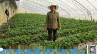 进口水溶肥-山东淄博刘姐草莓前期根腐病非常严重,用夫沃施沃叶水溶肥,长出白色新根,膨果快.mp4